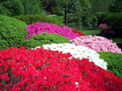 PLANTAS PARA SOMBRA. Normal_35291966iofOtr_ph%20azaleas
