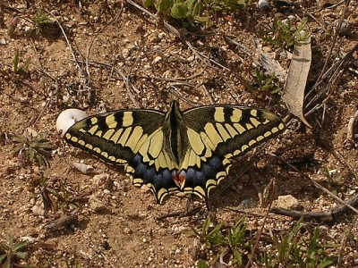 Papillio machaon