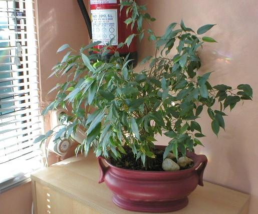 Ficha del ficus benjamina cultivo cuidados luz riego for Ficus interior cuidados