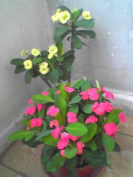Foto de la espina de cristo euphorbia - Plantas de jardin fotos ...