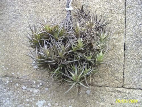 Planta que no necesita tierra y vive de la humedad del aire: ¿nombre?