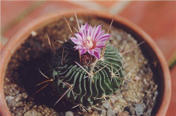 Stenocactus sp - Infojardin cactus ...
