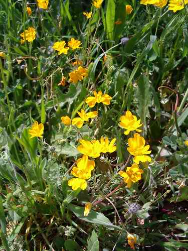 Hypecoum Procumbens Planta Silvestre Con Flores Amarillas