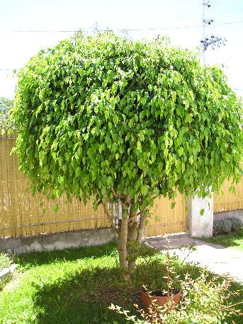 Ficus benjamina en el jard n poda y foto y da os por for Arboles que dan sombra para jardin