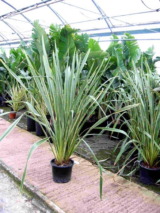 Plantas resistentes al sol y viento para terrazas en m laga for Plantas para macetas grandes de exterior