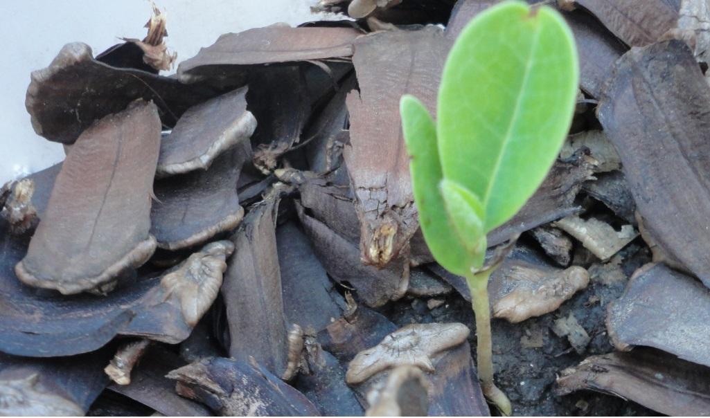 Multiplicar magnolio por semillas y esquejes - Semilla de magnolia ...