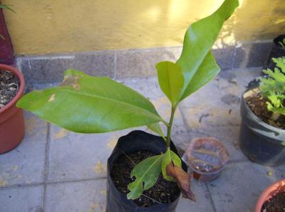 Magnolia o magnolio - Magnolia grandiflora cuidados ...
