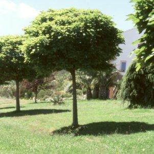 Elecci n de rboles de sombra for Arboles para jardin
