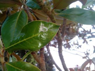 Problemas plagas y enfermedades del magnolio - Cuidados del magnolio ...
