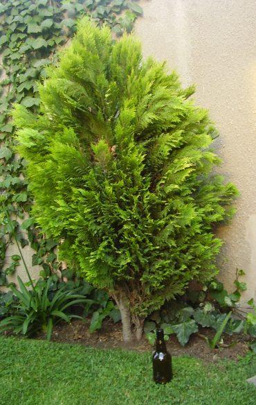 Problemas plagas y enfermedades de los pinos for Capillas de velacion jardin de los pinos