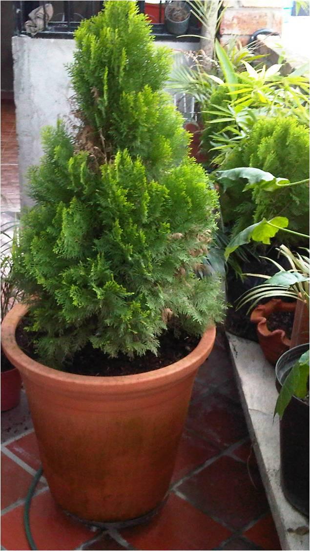 Problemas plagas y enfermedades de los pinos - Pinos para jardin ...