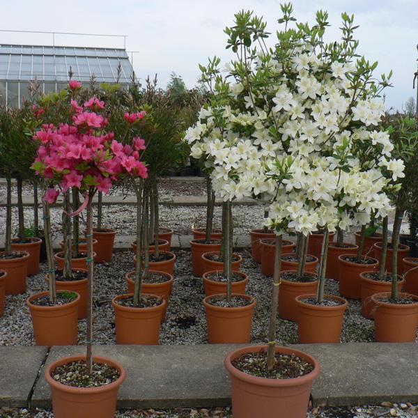 Planta azalea cuidados great planta azalea cuidados with planta azalea cuidados with planta - Cuidado de azaleas en interior ...