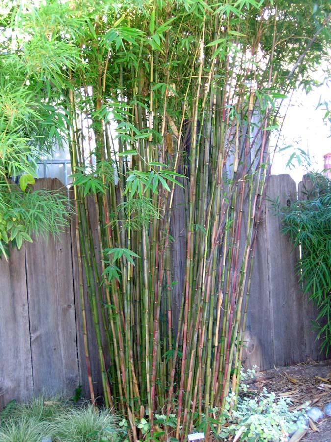Problemas con bamb invasivo c mo eliminar bamb - Bambu planta exterior ...