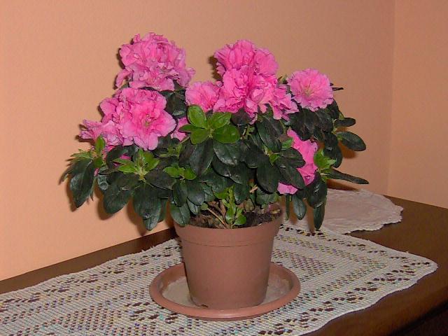 Planta azalea cuidados latest amrica del norte v asa son - Cuidado de azaleas en interior ...