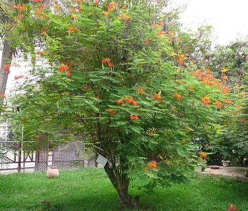 Caesalpinia - Caesalpinia gilliesii cultivo ...