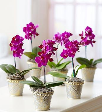 Orquidea Phalaenopsis Cuidados Reproduccion - Cuidados-de-la-orqudea