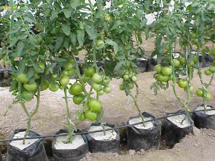 Tomates Propiedades Tipos Plantar Y Cultivar