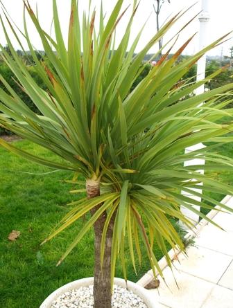 Palmera tipos grupo de palmera y herramientas for Plantas de interior tipo palmera