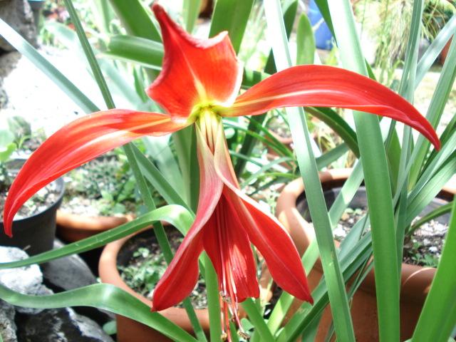 Flor de lis (Sprekelia formosissima)
