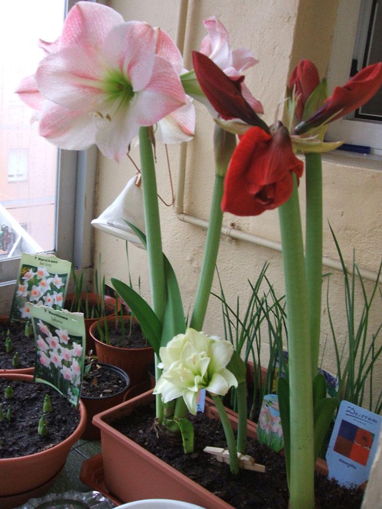 Амариллис: уход за цветком в домашних условиях фото и видео