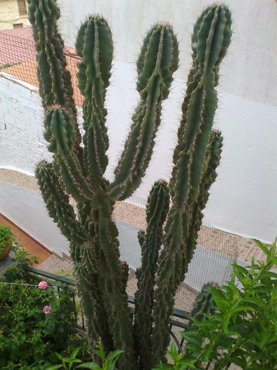 Cactus columnares - Infojardin cactus ...