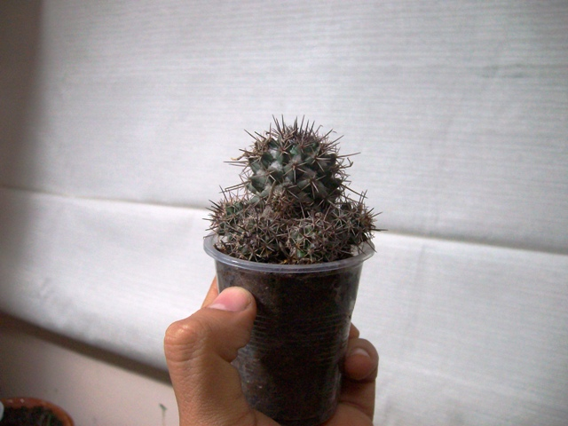 01c553844 Problemas, plagas y enfermedades en cactus