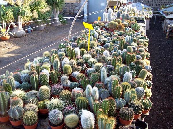 D nde comprar cactus y crasas tiendas y viveros for Donde venden cactus