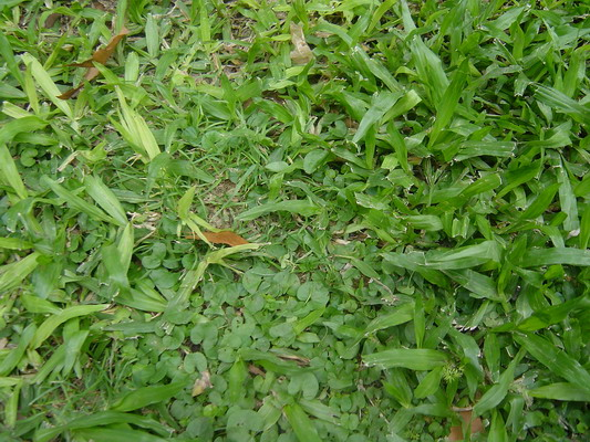 Grama o bermuda for Como plantar cesped natural