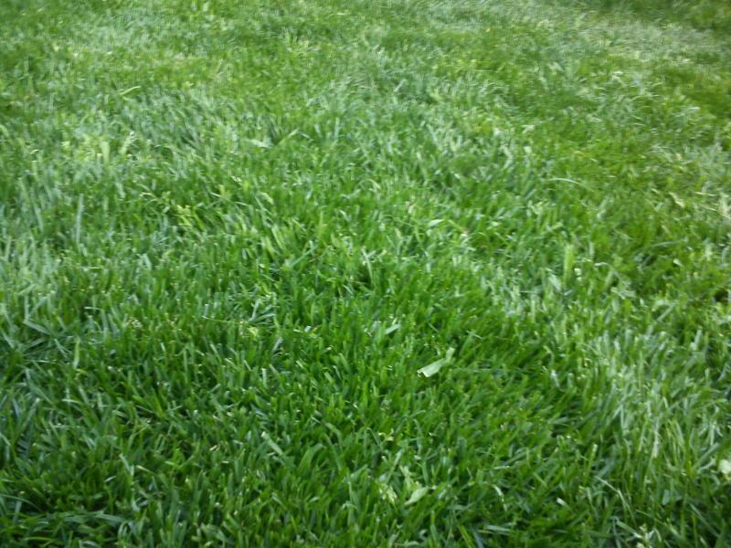 Grama en c sped mala hierba - Cuando plantar cesped ...