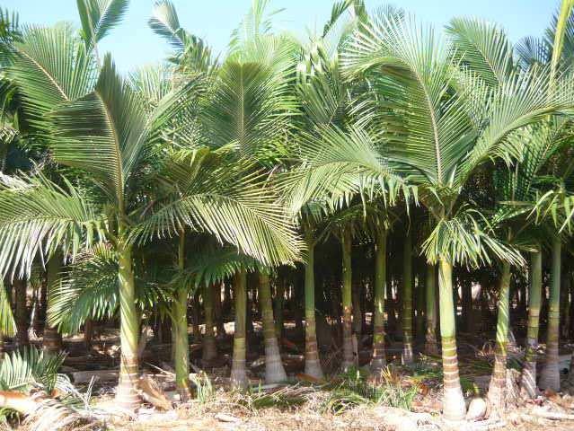 Venta de palmeras for Viveros en santiago