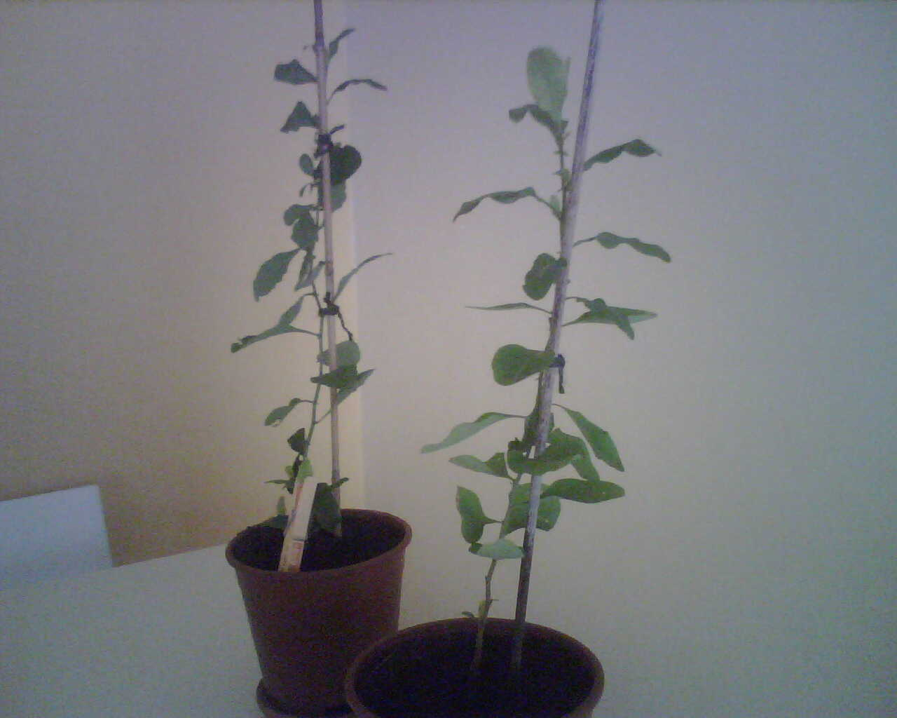 Venta de trepadoras o enredaderas for Jazmin planta precio