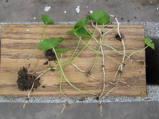 Malas hierbas y su control for Como quitar la mala hierba del jardin