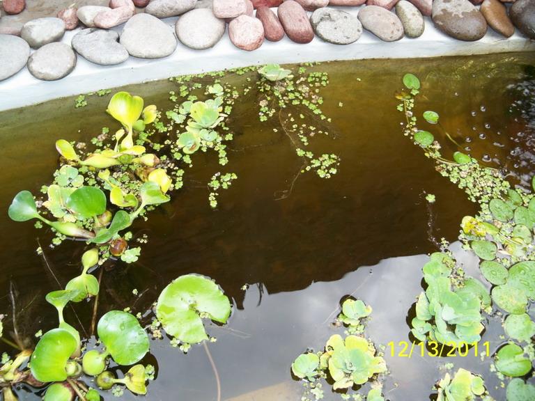 Algas en el estanque y c mo mantener limpia el agua for Como mantener el agua de un estanque