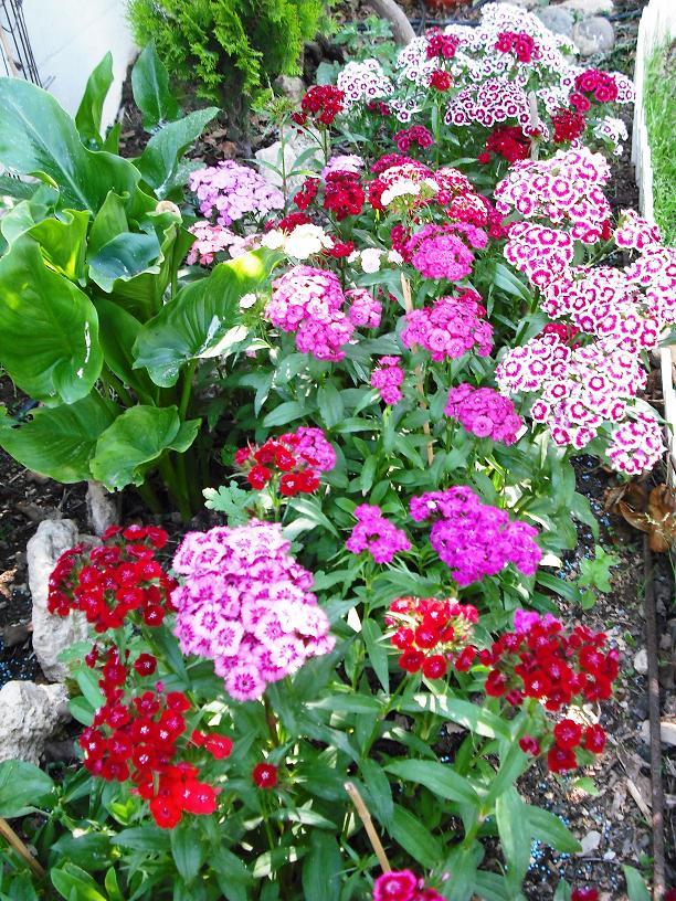 Clavellina clavelina o clavel chino for Plantas perennes exterior