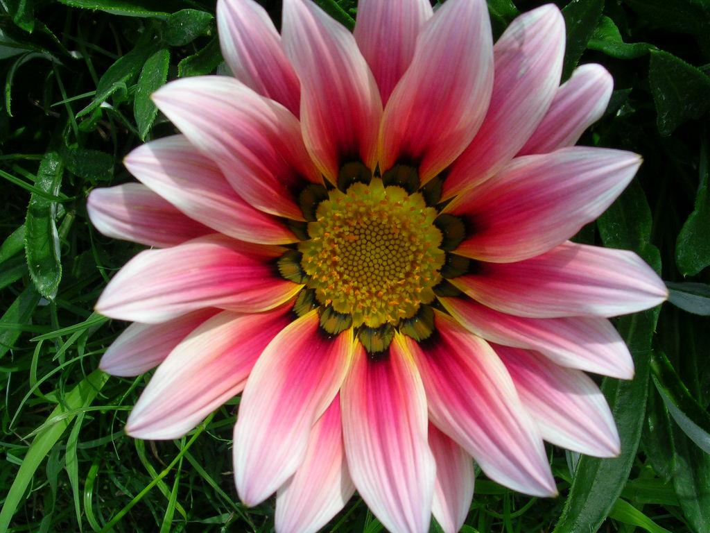 Zinnia - Clase de flores y sus nombres ...