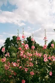 Malva real malvarrosa o altea alcea rosea althaea rosea for Malvarrosa planta
