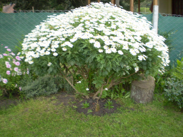 Margaritas - Arbustos perennes con flor ...