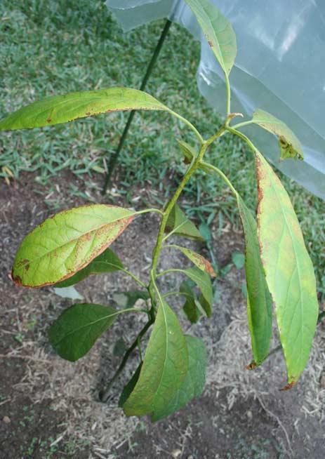 Plantar hueso de aguacate enterrar la semilla de aguacate - Plantar aguacate en casa ...