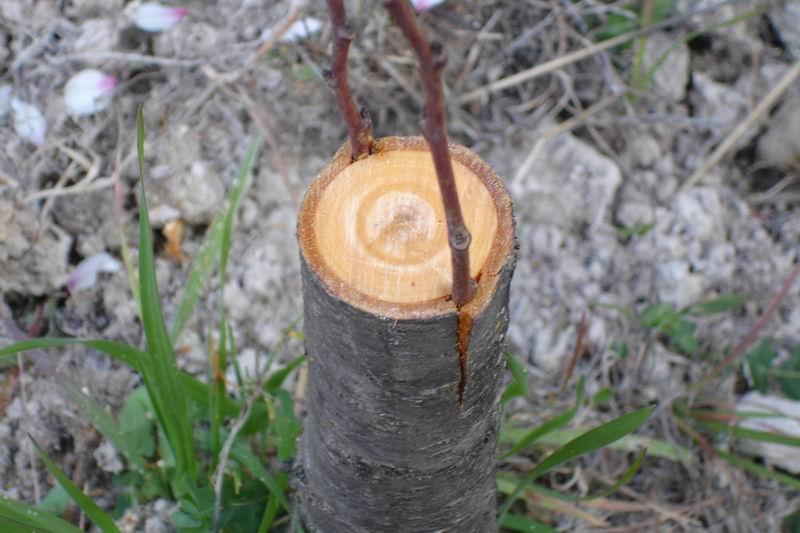 Multiplicaci n de cerezo por semillas injerto y esquejes for Cuando podar cerezos y ciruelos