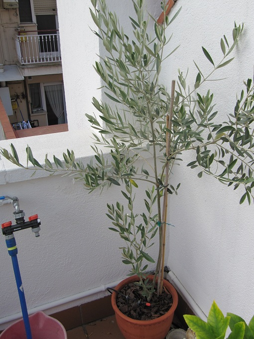 Poda del olivo for Formacion jardineria