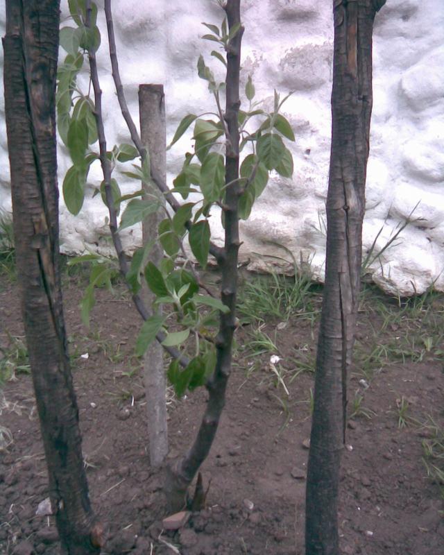 Cuando podar manzanos y perales stunning poda de formacin - Cuando plantar frutales ...