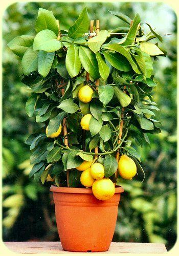 Cuando plantar un limonero lunero en maceta casa dise o - Plantar limonero en maceta ...