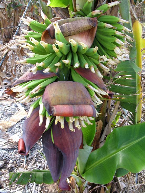 Pl tano banana for Banano de jardin