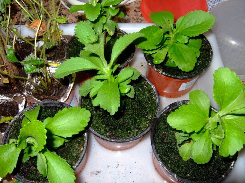 Stevia o estevia - Cortar hierba alta ...