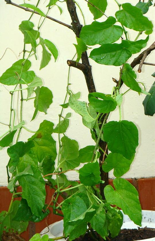Remedios con plantas medicinales para cada enfermedad o dolencia