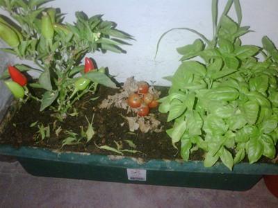 Entutorar tomates cherry en maceta casa dise o - Tomates cherry en maceta ...