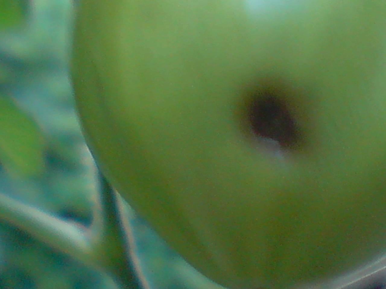 Síntomas en el FRUTO del tomate: manchas, podredumbres, rajado, etc.