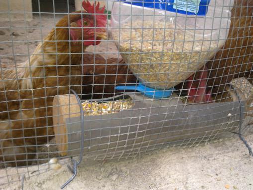Resultado de imagen para el pico agresivo de gallinas