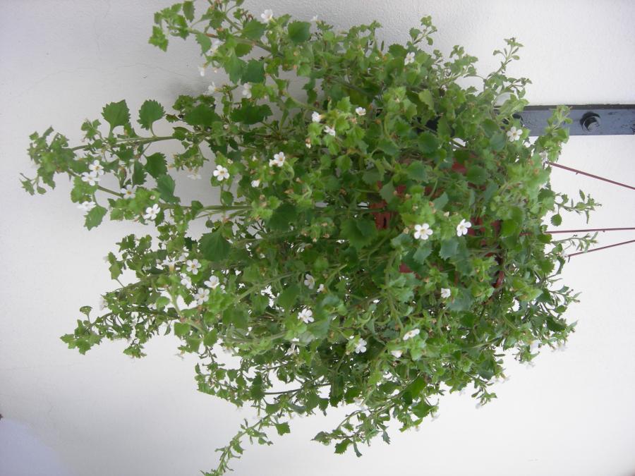 Plantas colgantes for Plantas suculentas colgantes