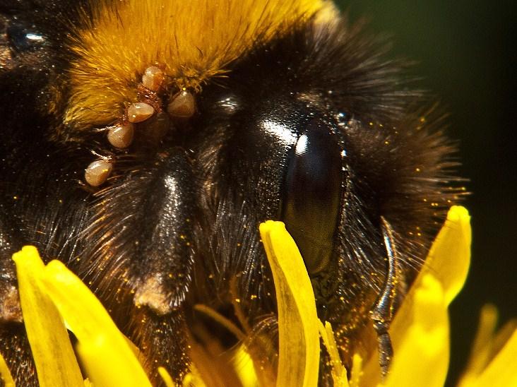 hymenoptera (abejas, avispas, hormigas, etc.)